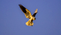 Black-shouldered Kite 2