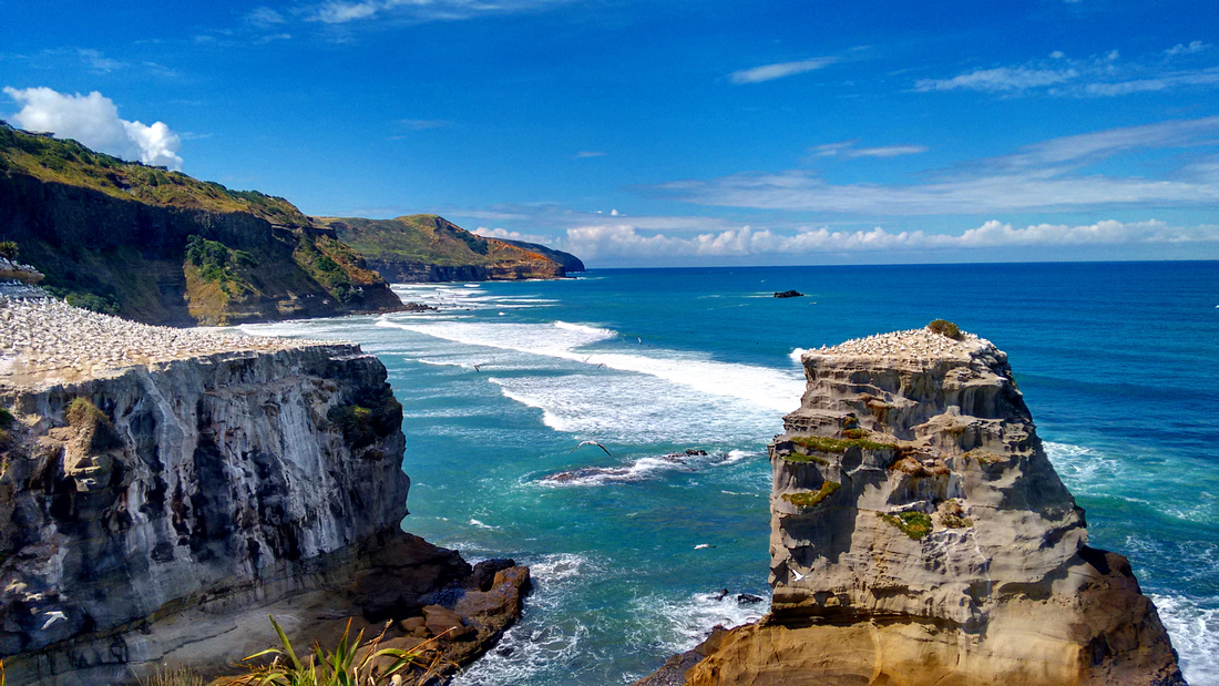 63-ani-NZ-muriwai-gannets-2